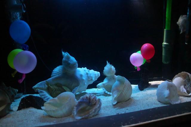 フウセンウオ/Balloon lumpfish