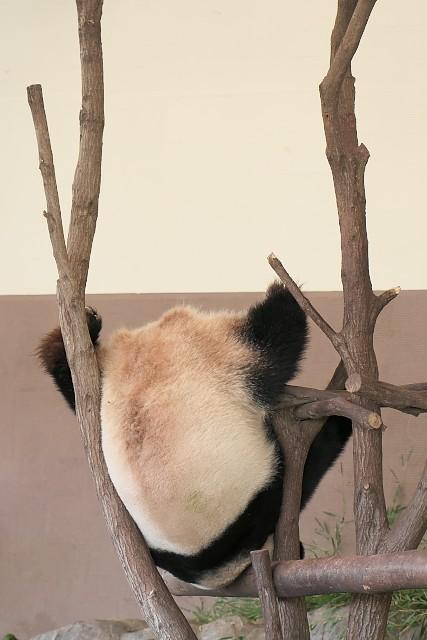 ジャイアントパンダ(桜浜)/Giant panda