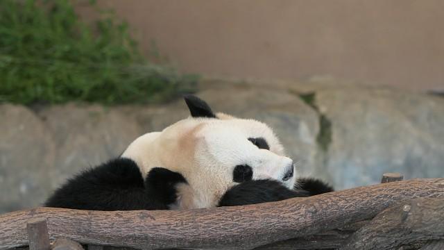 ジャイアントパンダ(桃浜)/Giant panda