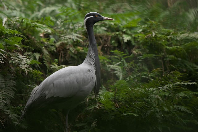 シュバシコウ/White Stork