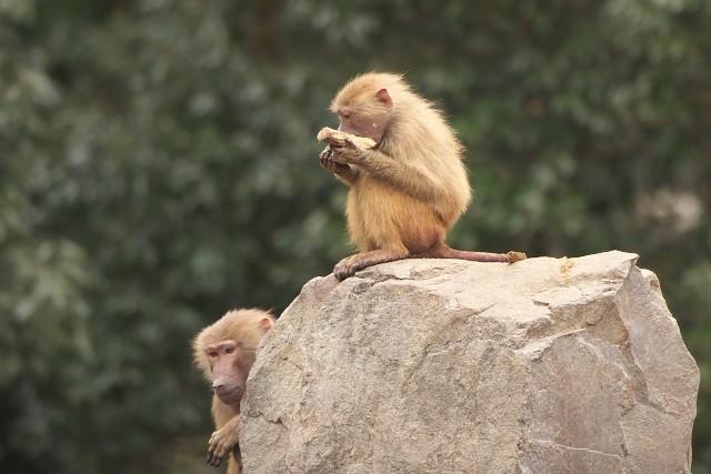 マントヒヒ/Hamadryas baboon