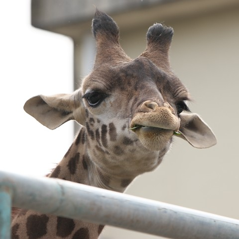 マサイキリン/Masai giraffe