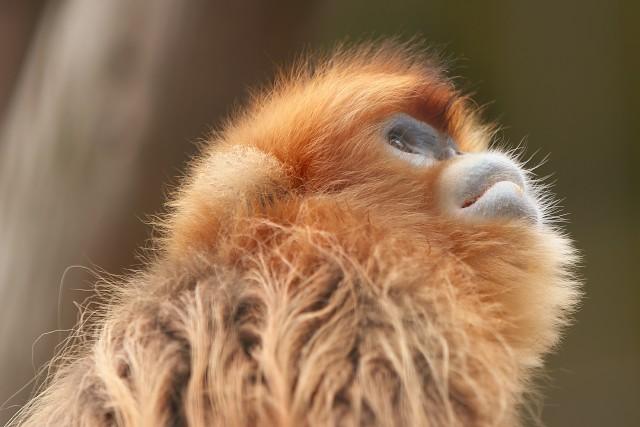 キンシコウ/Golden snub-nosed monkey