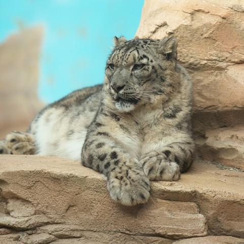ユキヒョウ/Snow leopard