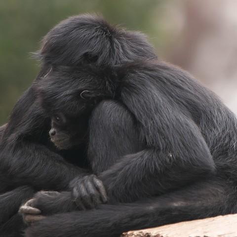 クロクモザル/Black spider monkey