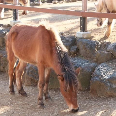 与那国馬/Yonaguni horse