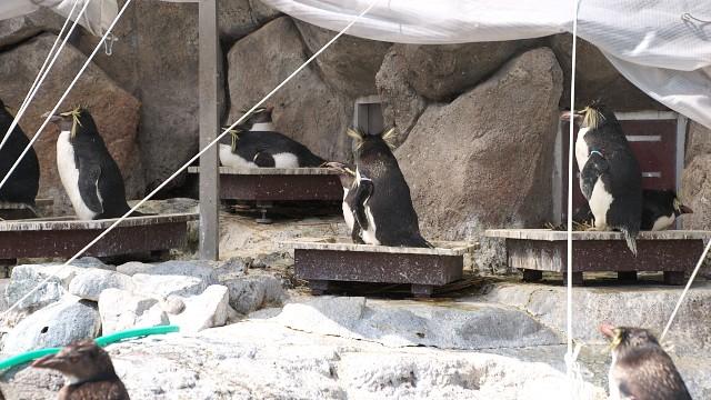 キタイワトビペンギン/Norther rockhopper penguin