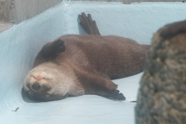 コツメカワウソ/Small-clawed otter