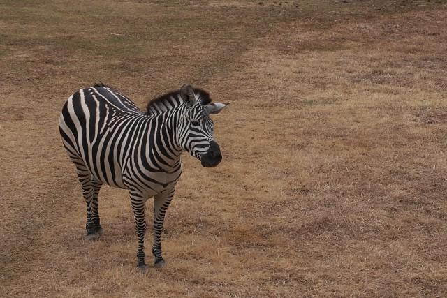 グラントシマウマ/Grant's zebra