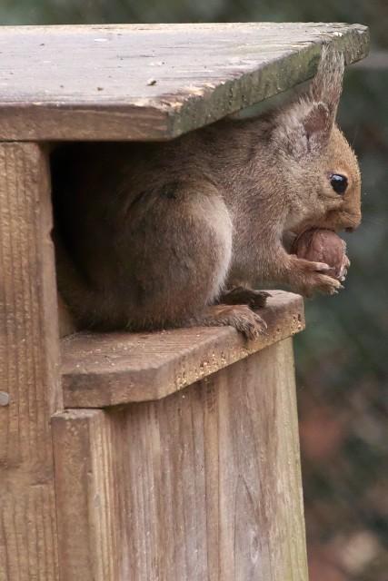 ニホンリス/Japanese squirrel