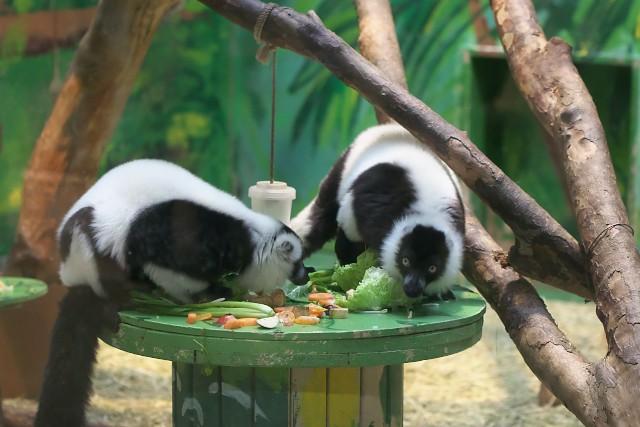 エリマキキツネザル/Ruffed lemur