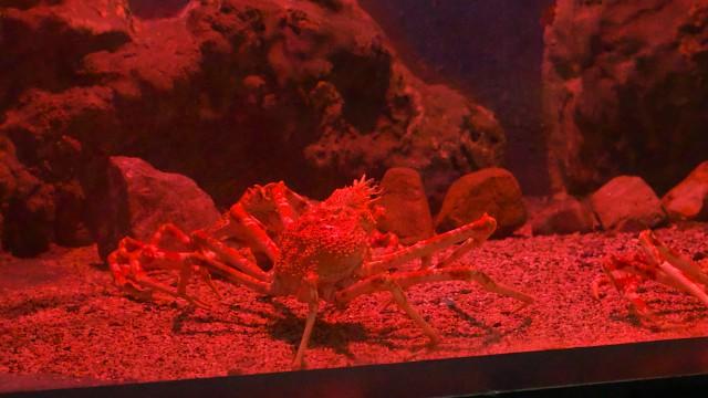タカアシガニ/Japanese spider crab