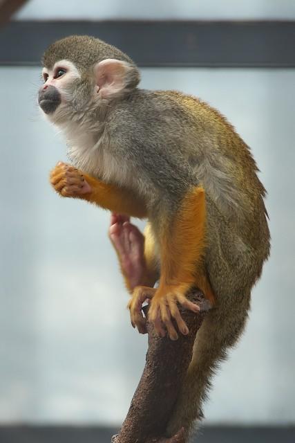 リスザル/Squirrel monkey