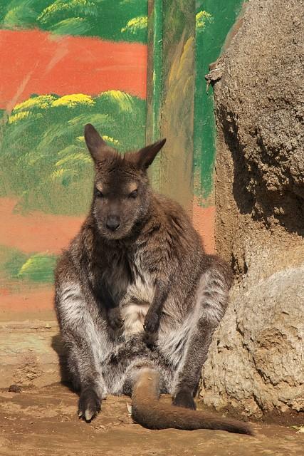 ベネットアカクビワラビー/Red-necked wallaby