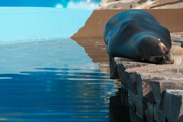 オタリア/South American sea lion