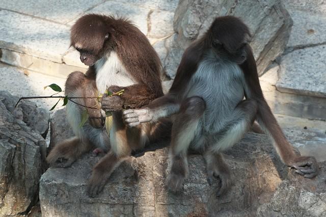 ブラウンケナガクモザル/Brown spider monkey