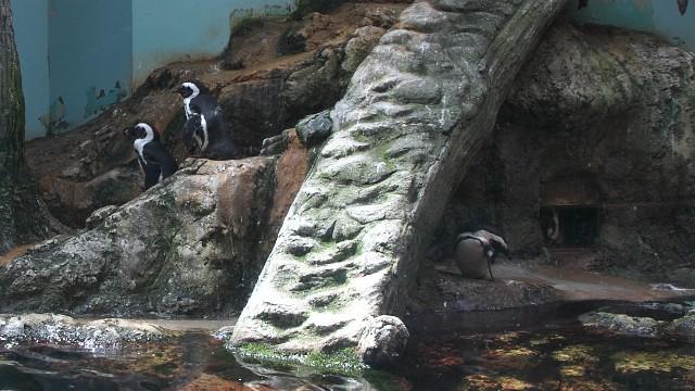 ケープペンギン/African penguin