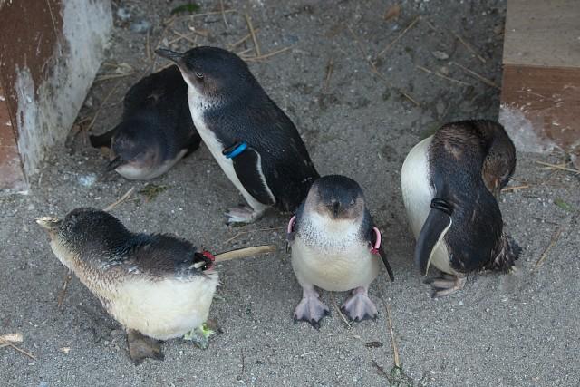 フェアリーペンギン/Little penguin