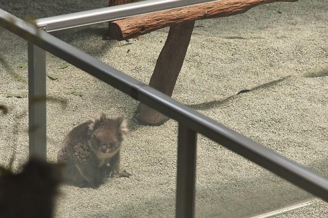 コアラ/Koala
