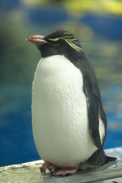 ミナミイワトビペンギン/Southern rockhopper penguin