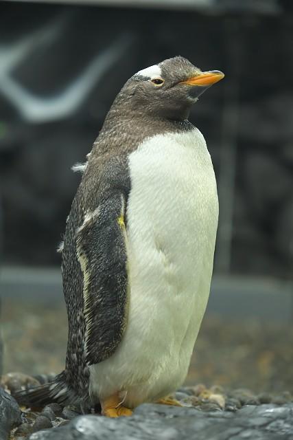 ジェンツーペンギン/Gentoo Penguin