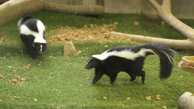 シマスカンク/Striped skunk