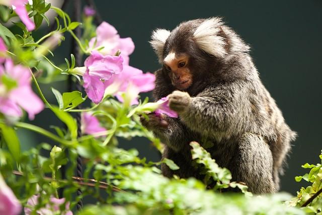 コモンマーモセット/Common marmoset