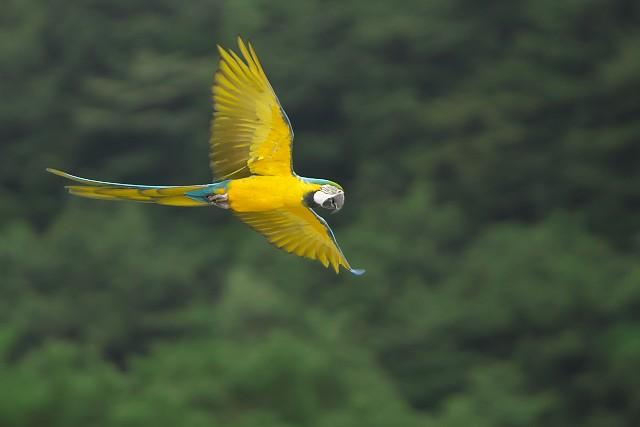 ルリコンゴウインコ/Macaw