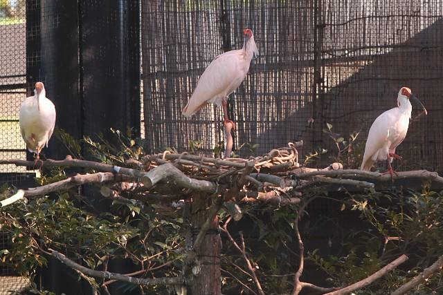 トキ/Crested ibis