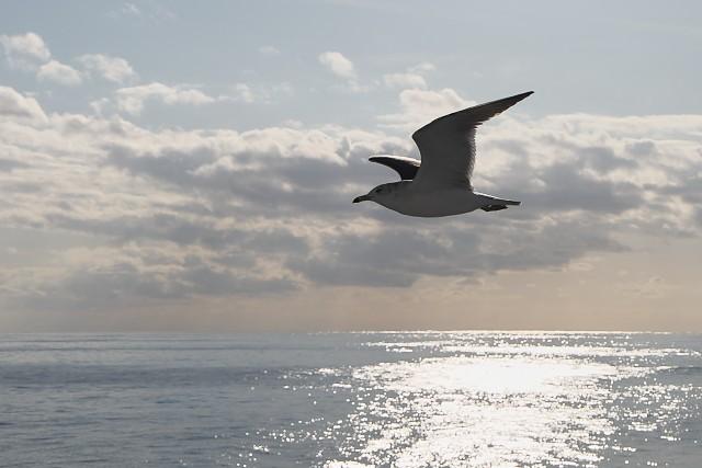 ウミネコ/Black-tailed gull