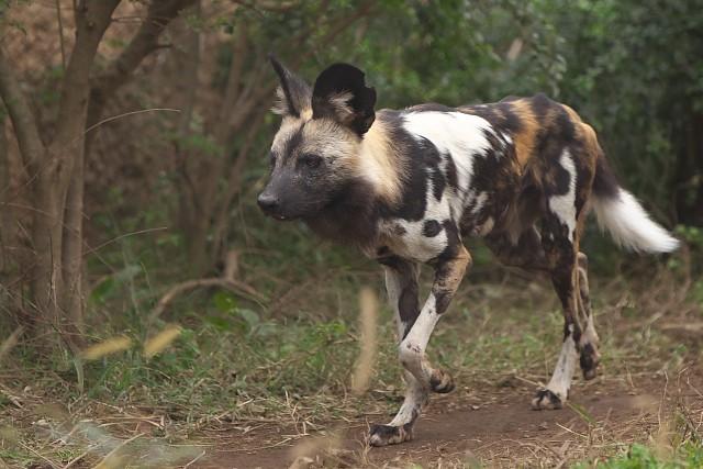 リカオン/African wild dog