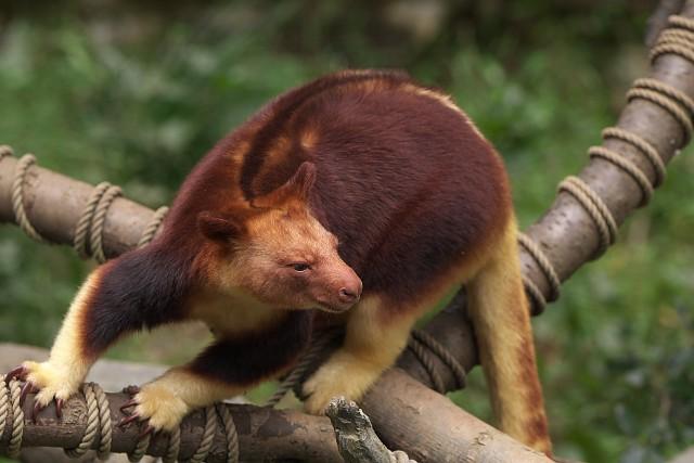 セスジキノボリカンガルー/Goodfellow's tree-kangaroo