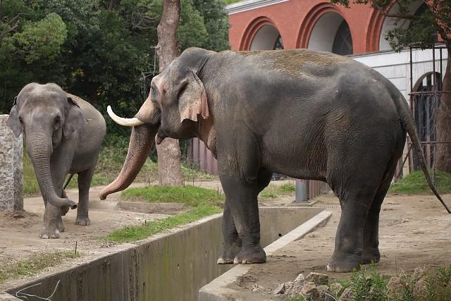 インドゾウ/Indian elephant