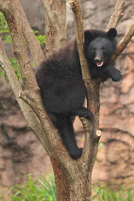 二ホンツキノワグマ/Japanese black bear
