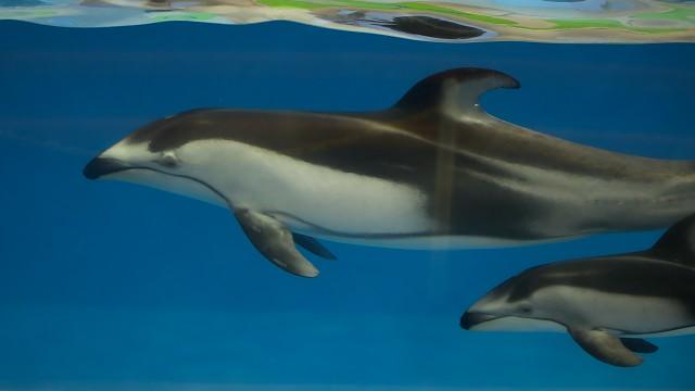 カマイルカ/Pacific white-sided dolphin