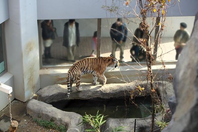 アムールトラ/Siberian tiger