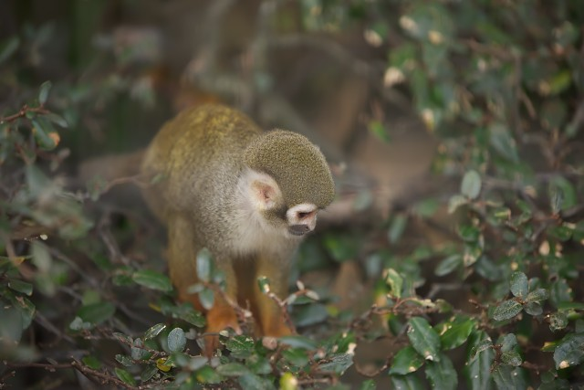 リスザル/Squirrel monkey