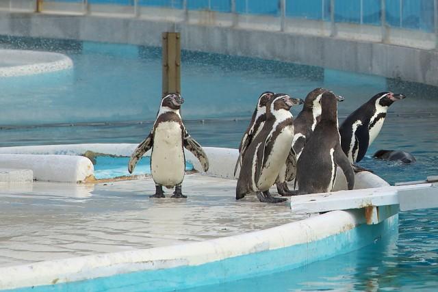 フンボルトペンギン/Humboldt penguin