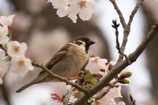 スズメ/Tree sparrow