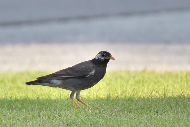 ムクドリ/White-cheeked starling