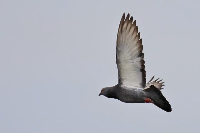 カワラバト/Rock pigeon