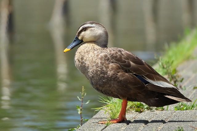 カルガモ/Indian spot-billed duck