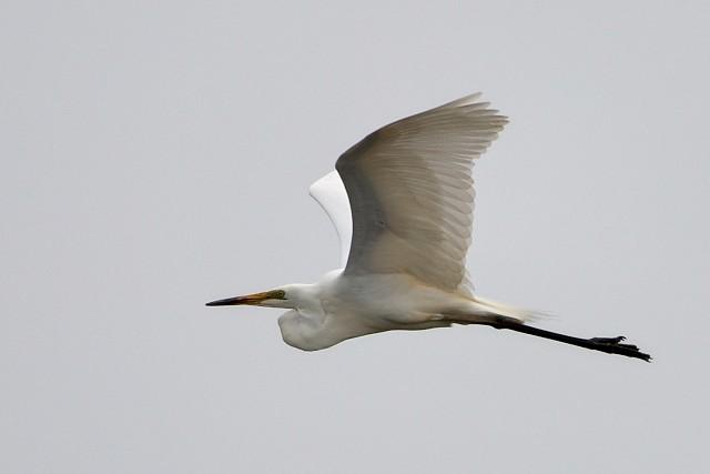 ダイサギ/Great egret
