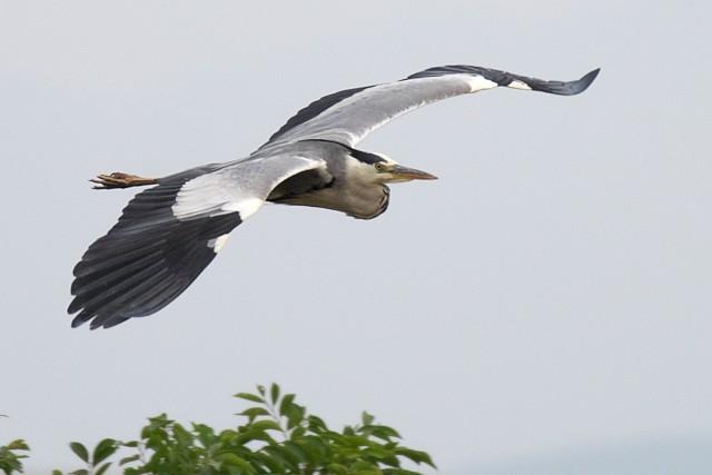 アオサギ/Grey heron