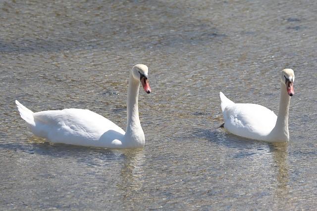 コブハクチョウ/Mute swan