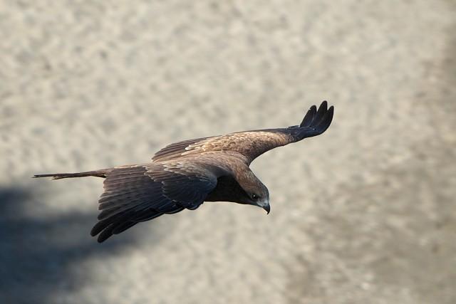 トビ/Black kite