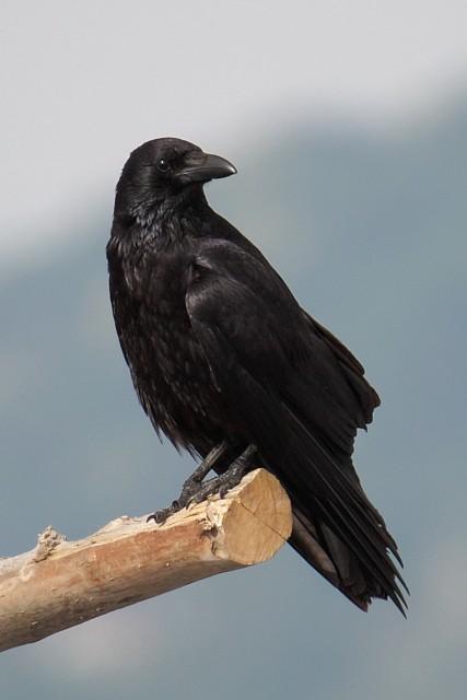 ハシボソガラス/Carrion crow