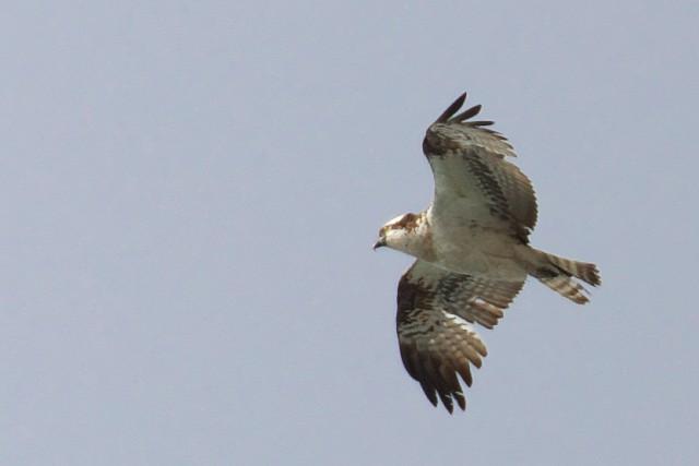 ミサゴ/Osprey