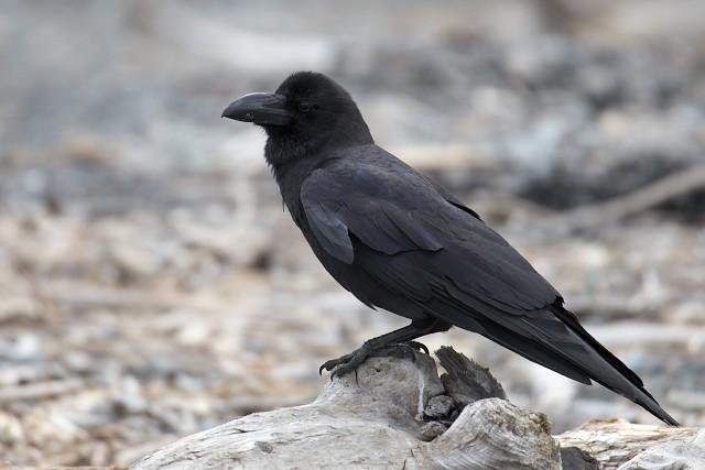 ハシブトガラス/Jungle crow