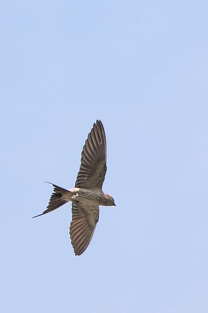 コシアカツバメ/Red-rumped swallow